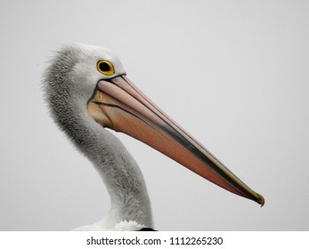 close up of pelicans head and neck