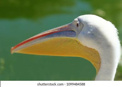 Close up of pelican's head, profile portrait