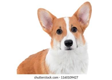 close of pembroke welsh corgi puppy face white background isolated