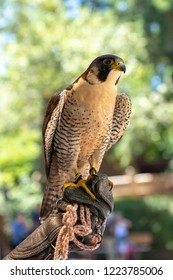 Close up of peregrin falcon perching on a handlers arm at a Vancouver Island rescue center in British Columbia, Canada