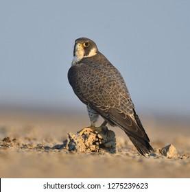 close up of peregrine falcon, Little Rann of Kutch, Gujarat,  India,