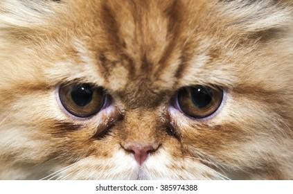 Close Up of Persian cat eyes