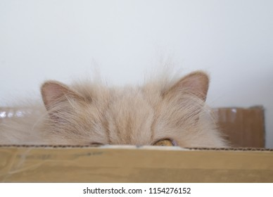 Close up of persian cat playing hide and seek with people inside box