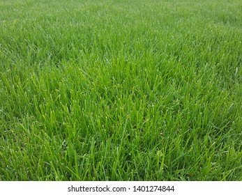 Close up perspective photo of thick green grass. Background image for posters, flyers, and brochures.