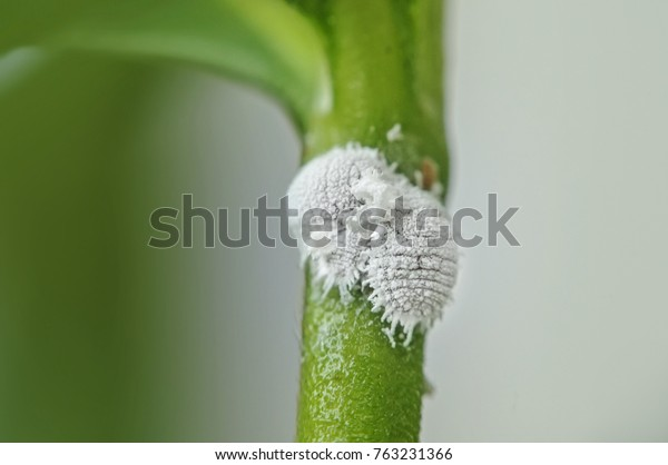 close up Pests mealy bugs on flowers plant