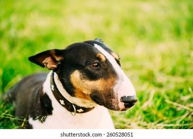 Close Up Pet Bullterrier Dog Portrait In Green Grass