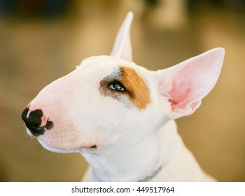 Close Up Pet White Bullterrier Dog Portrait Indoor On Brown Background