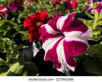 Close up of Petunia in the garden,Flowerbed with multicoloured petunias / Image full of colourful petunia (Petunia hybrida) flowers