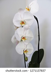 A close up of a phalaenopsis orchid spray.