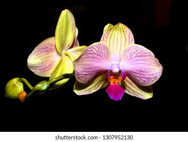 Close up of Phalaenopsis Orchids isolated on black.