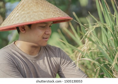 Close up photo of Asia farmer harvesting rice in the field rice of Indonesia.