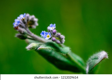 Close up photo of beautiful Field Forget-me-not (Myosotis arvensis). Photo taken in Co Louth. Ireland