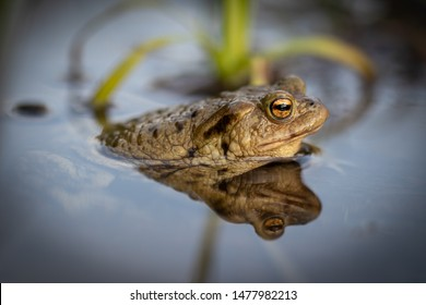 Close up photo of beautiful frog in the spring when their activity is very high.