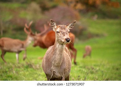 Close up photo of a beautiful red deer (Cervus elaphus) hind.