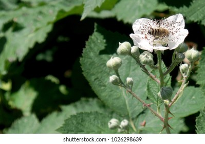 Close up photo of bee gathering nectar from a Himalayan Blackberry flower (Chehalis Western Trail/Olympia, WA).