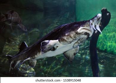 A close up photo of Beluga Sturgeon swimming.