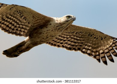Close up photo of bird of prey, Changeable Hawk-eagle, Spizaetus cirrhatus ceylanensis flying with outstretched wings straight to camera against blue sky background.