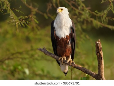 Close up  photo of bird of prey, Haliaeetus vocifer, African fish eagle perched on branch against blurred green bush in background in warm afternoon light. Marchison Falls, Uganda.