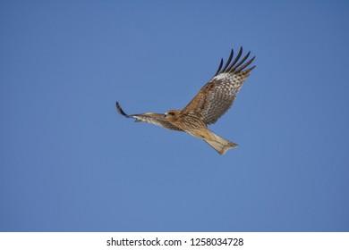 Close up photo of Black Kite (milvus migrans) in flight, blue sky