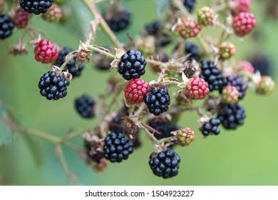 A close up photo of Blackberries growing in a hedgerow