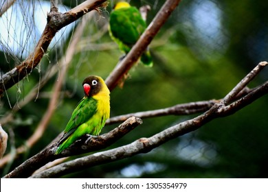 A close up photo of a black-masked Lovebird (Agapornis personatus); softly defocused background