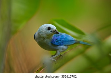 Close up photo of blue and light grey tanager Thraupis episcopus  Blue-gray Tanager perched on stem in rain forest of Tobago. Blurred green plants in background. Typical environment.