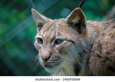 Close up photo of a carpathian lynx, subspecies of Eurasian lynx (Lynx lynx carpathicus)