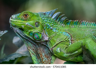 Close up photo of a Central American green iguana.