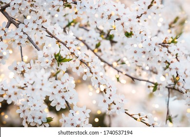 Close up photo of cherry blossoms ith beautiful bokeh.