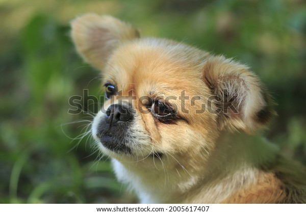 Close up photo of a chihuahua's face. Focus is on the right side of face, background blurred. Cutest dog.