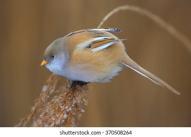 Close up photo of colorful passerine bird Bearded parrotbill Panurus biarmicus, feeding female, orange-brown body and long tail, perched on orange reed bed  in  warm, setting sun light. Czech rep.