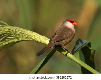 Close up photo of Common Waxbill, Estrilda astrild, small colorful african bird with red beak and red eye stripe perched on a green reed stem against blurred background. Madeira Island.