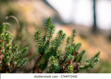 Close up photo of a crowberry shrub (Empetrum nigrum) in shallow depth of field growing on the forest floor on one islands of Pellinki archipelago. Blurry tree silhouettes visible in the background.