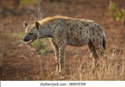 Close up photo of curious Spotted hyena, Crocuta crocuta with opened mouth  in Kruger National Park, South Africa.