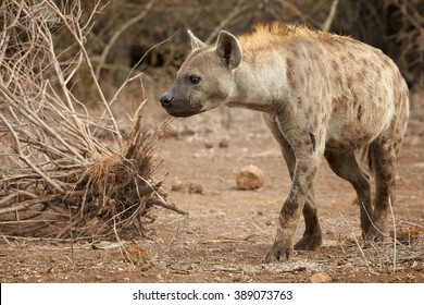 Close up photo of curious Spotted hyena, Crocuta crocuta with upright mane and tale, preparing for attack near watehole in Kruger National Park, South Africa.