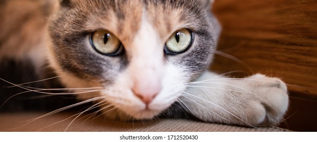 Close up photo of cute, calico cat looking like she is sneaking arround. Banner size photo. Space for text