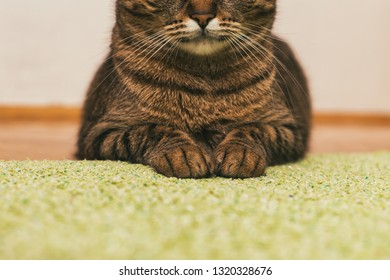 Close up photo of cute cat paws and mouth while resting on the floor.