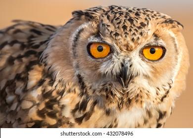 Close up photo of a desert eagle owl (Bubo ascalaphus) in Dubai Desert Conservation Reserve, United Arab Emirates.
