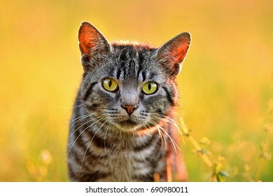 Close up photo of domestic cat, back lit by sun