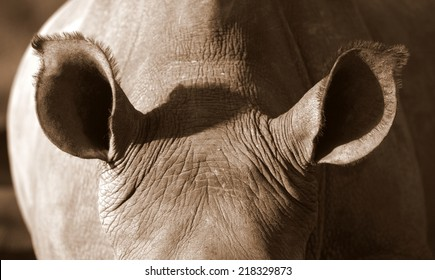 A close up photo of an endangered white rhino / rhinoceros ears. Listening carefully.