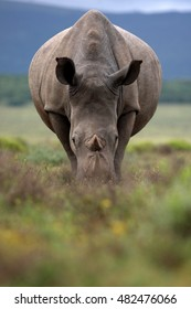 A close up photo of an endangered white rhino. South Africa
