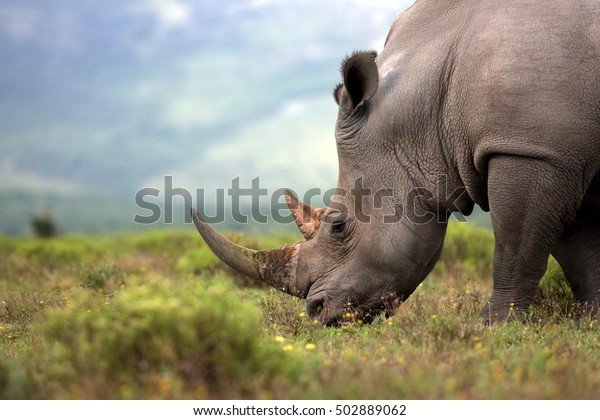 Foto de un rinoceronte blanco en peligro de extinción / cara de rinoceronte, cuerno y ojo. Sudáfrica
