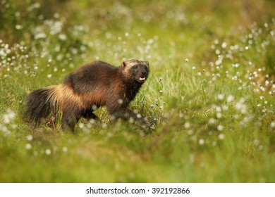 Close up photo of enigmatic Wolverine, Gulo gulo, staring directly at camera in the flowering grass in taiga against blurred green meadow in background. Late spring, Scandinavia.