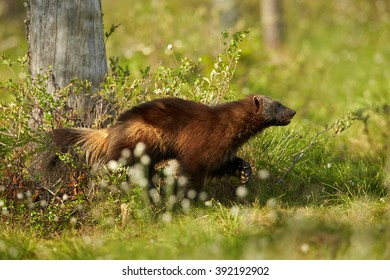 Close up photo of enigmatic Wolverine, Gulo gulo, running in the grass in Finnish taiga against blurred flowering grass in background.