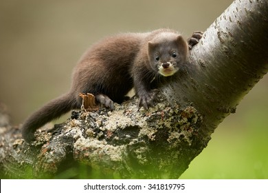 Close up photo of  European minks watching surrounding from branch with distant background