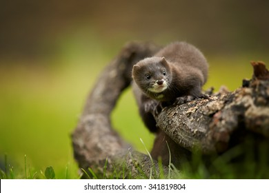 Close up photo of  European minks watching surrounding from branch with distant background, front view