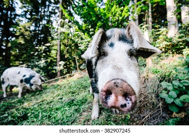 Close up photo of a feral pig / wild boar while it looks into the camera at a farm