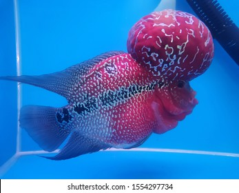 Close up photo of Flower horn fish.