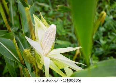 Close up photo of fruit, white waxy corn, maize, cornhusk, kernels, ear of corn, and corn leaves in the middle of green and yellow corn field