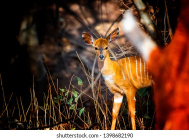 Close up photo of Giant eland baby, also known as the Lord Derby eland in the Bandia Reserve, Senegal. It is wildilfe photo of animal in Africa. It is the largest species of antelope.